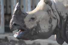 多摩動物公園のインドサイの画像002