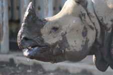 多摩動物公園のインドサイの画像003
