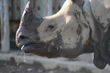 多摩動物公園のインドサイの画像004