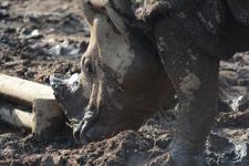 多摩動物公園のインドサイの画像005
