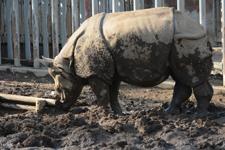 多摩動物公園のインドサイの画像006
