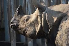 多摩動物公園のインドサイの画像008