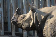 多摩動物公園のインドサイの画像009