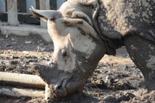 多摩動物公園のインドサイの画像011