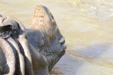 多摩動物公園のインドサイの画像012