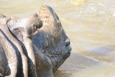 多摩動物公園のインドサイの画像013
