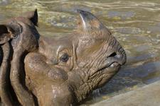 多摩動物公園のインドサイの画像014