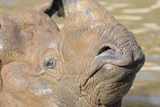 多摩動物公園のインドサイの画像018