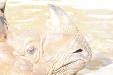 多摩動物公園のインドサイの画像021