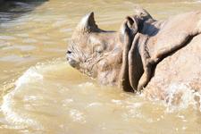 多摩動物公園のインドサイの画像026