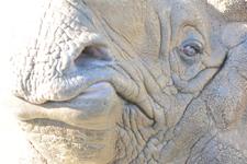 多摩動物公園のインドサイの画像028