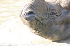 多摩動物公園のインドサイの画像030