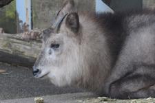 多摩動物公園のニホンカモシカの画像001