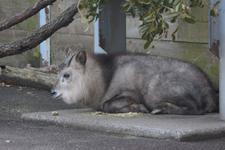 多摩動物公園のニホンカモシカの画像002