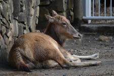 多摩動物公園のシフゾウの画像001
