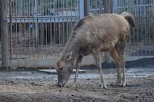 多摩動物公園のシフゾウの画像003