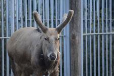 多摩動物公園のシフゾウの画像004