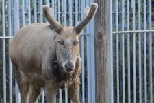 多摩動物公園のシフゾウの画像005