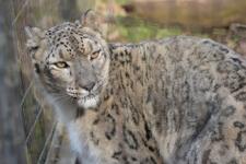 多摩動物公園のユキヒョウの画像001