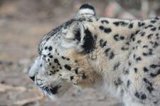 多摩動物公園のユキヒョウの画像009