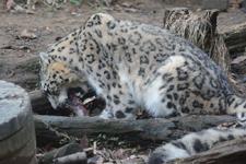 多摩動物公園のユキヒョウの画像015