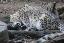 多摩動物公園のユキヒョウの画像017