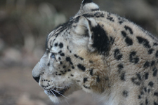 多摩動物公園のユキヒョウの画像018