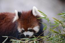 多摩動物公園のレッサーパンダの画像002