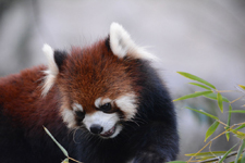 多摩動物公園のレッサーパンダの画像003