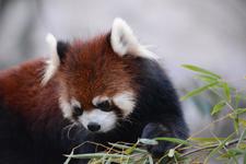 多摩動物公園のレッサーパンダの画像004