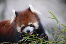 多摩動物公園のレッサーパンダの画像005