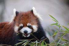 多摩動物公園のレッサーパンダの画像006
