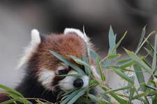 多摩動物公園のレッサーパンダの画像007