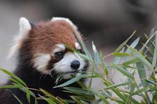 多摩動物公園のレッサーパンダの画像008