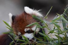 多摩動物公園のレッサーパンダの画像010