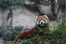 多摩動物公園のレッサーパンダの画像011
