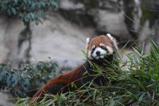 多摩動物公園のレッサーパンダの画像012