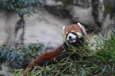 多摩動物公園のレッサーパンダの画像013