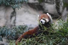多摩動物公園のレッサーパンダの画像014