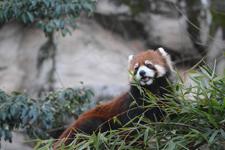 多摩動物公園のレッサーパンダの画像015