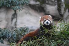 多摩動物公園のレッサーパンダの画像016