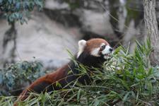多摩動物公園のレッサーパンダの画像017