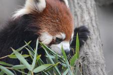 多摩動物公園のレッサーパンダの画像018