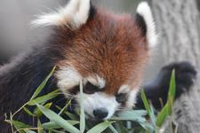 多摩動物公園のレッサーパンダの画像019