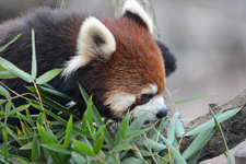 多摩動物公園のレッサーパンダの画像020