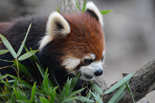 多摩動物公園のレッサーパンダの画像021