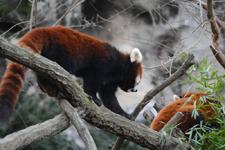 多摩動物公園のレッサーパンダの画像022