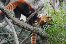 多摩動物公園のレッサーパンダの画像023