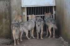 多摩動物公園のオオカミの画像001