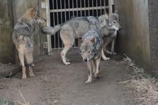 多摩動物公園のオオカミの画像002